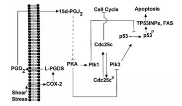 Proposed cascade of signaling event in human T/C-28a2 chondrocytic cells subjected to high shear stress.